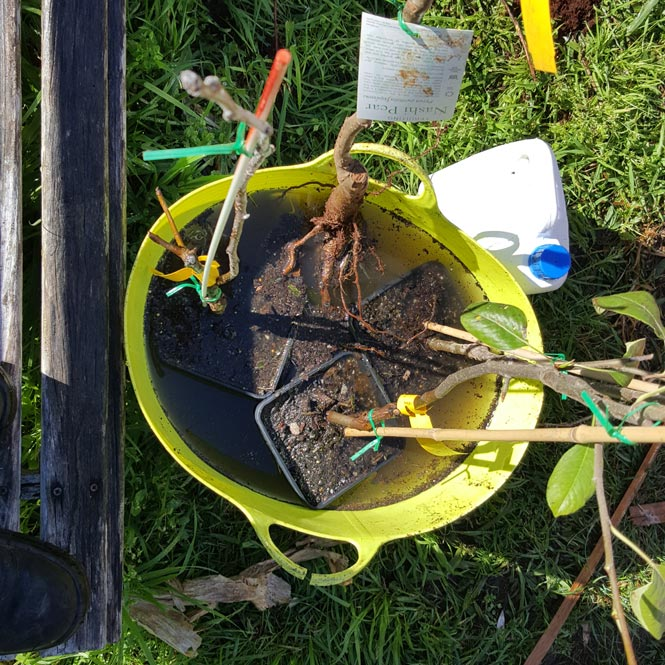 Inoculating fruit trees with Biocast