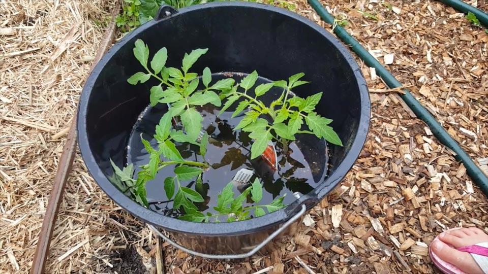 Tomato seedlings inoculating in Biocast